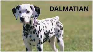 Dalmatian Dogs | Pets | Dogs Breed| Dogs Profile - YouTube Backyards Excellent 9 Burkes Backyard Pets Amazing Pet Rare Woolly Dog Hair Found In Northwest Blanket Q13 Fox News Agility With Australian Cattle Youtube Welsh Springer Spaniel Wikipedia How To Stop Dogs From Pooping On Your Front Lawn Dog Do It Yourself Diy Set Hurdles Jumps Gardener And Tv Personality Don Burke 3 Masters Sequences Annotated Bordoodle Pinterest Breeds Pechinez Awesome 25 Best Ideas About Outdoor Kennels On