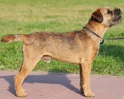 Do Border Terriers Shed by Border Terrier General Features Temperament Health