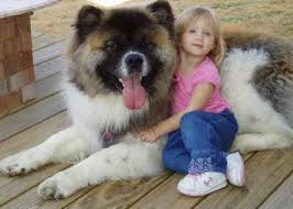 Do Akita Dogs Shed Hair by I Saw A Long Haired Akita Like This At Petsmart The Other Night