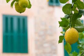 zitronenbaum auf dem balkon das sollten sie beachten