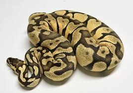 Ball Python Shedding Signs by Super Pastel Enchi 50 Het Orange Ghost Ball Python By Ball Python