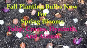 fall planting bulbs in a grow bag for blooms tulips
