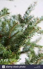 Nordmann Fir Christmas Trees Wholesale by Nordmann Fir Abies Nordmanniana Close Up Of Branches Of