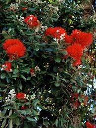 Christmas Tree Species For by New Zealand Christmas Tree Friends Of The Urban Forest