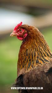14 Best Chicken Breeds Images On Pinterest | Chicken Breeds ... 14 Best Chicken Breeds Images On Pinterest Grandpas Feeders Automatic Feeder Standard 20lb Feed Backyard Chickens Norfolk Va 28 Run Selling Eggs From Uk My Marans Red Pyle Brahmas And Other Colours Backyard Chickens Page 53 Of 58 Backyard Ideas 2018 Derbyshire Redcaps Uk Cleaning Stock Photos Images Quietest Breeds Uk With Quiet Coop How To Keep Your Hens Laying All Winter Long Top 5 Tips A Newbie The