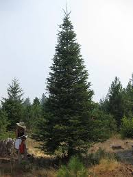 Large Real Christmas Tree 3