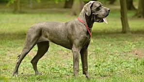 Best Guard Dogs That Dont Shed by 35 Worst Guard Dog Breeds