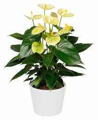 63 best anthurium images on gardening plants and