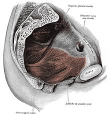 Muscles Of The Pelvic Floor Male by Pelvic Floor Wikipedia