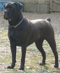 My Cane Corso Shedding A Lot by Buying Or Adopting A Cane Corso