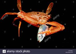decorator crabs eat fish crab diving stock photos crab diving stock images
