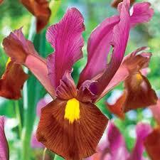 iris ember dutchgrown