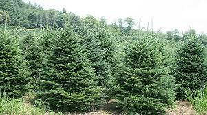 Welcome To The Syracuse Christmas Tree Farm