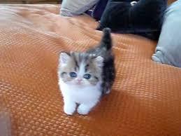 tea cup cat purrerze s tea cup bi color tabby kitten