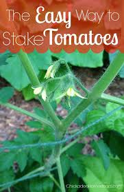 Photos And Inspiration Hstead Place by The Easy Way To Stake Tomatoes Chickadee Homestead Fiercely