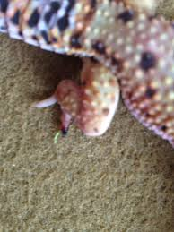 African Dwarf Frog Shedding Or Sick by I Have Leopard Gecko 8 Months Old He Is Yellow Color Two Days