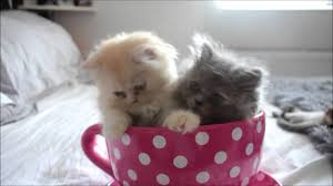 tea cup cat kittens in a teacup