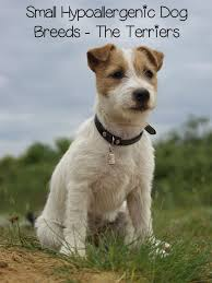 Small Non Shedding Dogs Australia by Best 25 Small Hypoallergenic Dogs Ideas On Pinterest Small
