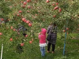 Fruit Picking aptinet Aomori Sightseeing Guide