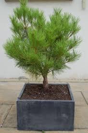 pinus densiflora tanyosho compacta