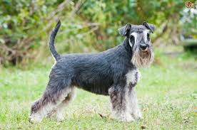 Do Giant Schnauzers Shed by Choosing Between The Great Dane And The Giant Schnauzer Pets4homes