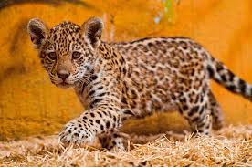 Spot the Differences Between Leopards Jaguars and Cheetahs