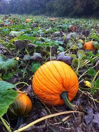 Sunnyside Pumpkin Patch by Fall Dirt Simple