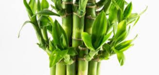 entretien des bambous en pot skullcro auteur sur atelier floral page 20 sur 117