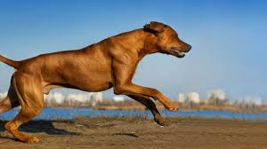 Rhodesian Ridgeback Shedding A Lot by The 20 Best Dog Breeds For Runners Outside Online