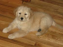 wooden floors and puppy legs golden retrievers golden