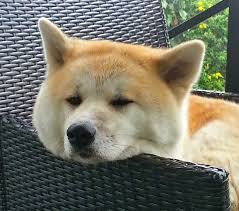 Do Shiba Dogs Shed by Interesting Dog Breed Characteristics Which Breed Lives The