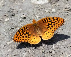 Great Spangled Fritillary Speyeria Cybele (Fabricius, 1775 ... Trusted Collision Repair Service King Metal Forming Fabricating Welding Fishing Buyers Guide By Carlas Corner Store Home Artists Amicable Amygdalae Barnes Supply Citrus Heights Facebook Online Bookstore Books Nook Ebooks Music Movies Toys Luxe Calme Et Volupte An American Designer Reinterprets A Cannes Printvis Us Fish And Wildlife Police Seek Help To Id Theft Suspects Partnership Magazine 2016 Edition Santa Fe College Issuu