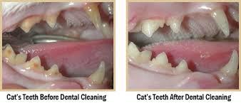 cat dental care hicksville pet dentists pet dental care cat teeth cleaning