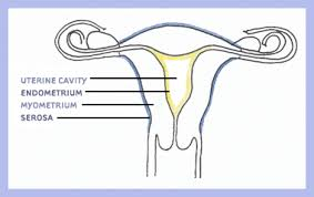 Uterine Lining Shedding Meaning by Center For Uterine Fibroids