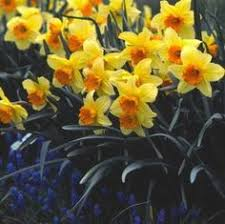 narcissus daffodil bulbs for sale south gate garden