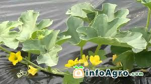 Stages Of Pumpkin Growth by Melon Growing How To Plant Grow And Harvest 1 2 Youtube