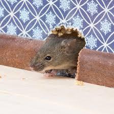 mäuse im haus bekämpfen mäuse fangen vergiften oder