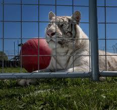 American Tiger | Swarthmore College Bulletin