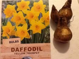 daffodils king alfred golden trumpet pack of 100 bulk buy feb