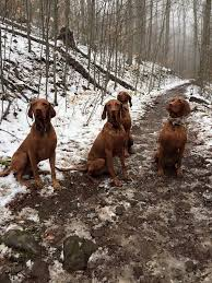 Vizsla Dog Breed Shedding by 3610 Best Vizslas 2nd Board Images On Pinterest Puppies Dogs