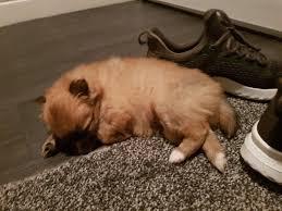100 Where Is Chihuahua Located STUNNING Pomchi Puppies 34 Pomeranian 14 In Workington Cumbria Gumtree