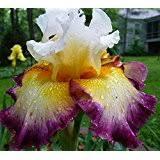 1 cupid s arrow bearded iris rhizome bulb root