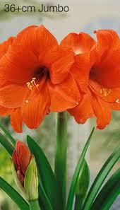 bloomingbulb amaryllis