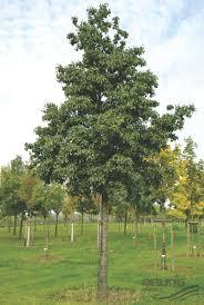 Christmas Tree Saplings For Sale Ireland by Trees