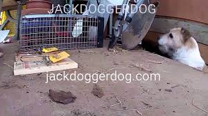 Stop Rat Terrier Shedding by Determined Dog Corners A Rat Live Trapping Youtube