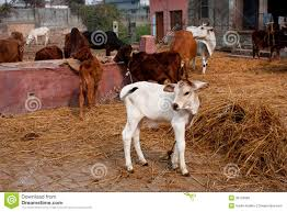 Small Calf And Other Animals In A Rustic Barn Royalty Free Stock ... 37 Best Goats Images On Pinterest Goat Shelter Farm Animals Clipart Bnyard Animals In A Barn Royalty Free Vector 927 Campagne Ferme Country Living All Men Are Enemiesall Comradesall Equal Pioneer George Washingtons Mount Vernon Nature Trees Fences Birds Fog Mist Deer Barn Farm Competion Farmer Bens Hog Blog Stories Of And Family Stock Horse Designs Learn Names Sounds Vegetables With Jobis Animal Inside Another Idea To Do It Without The Mezzanine But Milking Cows The Cow Milk Dairy Cowshed Video Maine Archives Flavorful Journeys