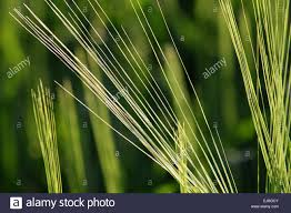 Awns Of Barley Stock Photo, Royalty Free Image: 80159659 - Alamy Flickr Photos Tagged Heltotrichon Picssr Protect Your Pet Against Cheat Grass And Foxtail Research Spotlight Using Phenology To Help In The Fight Laba1 A Domescation Gene Associated With Long Barbed Awns Interesting Stipapulchra Deadly When Dry 10 Things Know About Plant Dev Agrilife Triticale Offers Grazing Benefits Options Isolated Ear Of Wheat With Stock Photo Image 36250058 Vascular Plants Of Gila Wilderness Bromus Carinatus Dogs Risks Symptoms Treatment Petmd Fileoplismenus Undulatifolius Awnsjpg Wikimedia Commons Diversity Free Fulltext Barley Developmental Mutants The