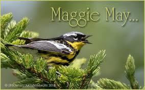 Magnolia Warbler Setophaga Dolly Sods Wilderness West Virginia