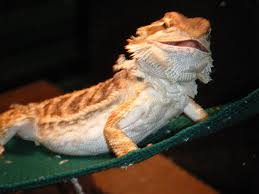 Bearded Dragon Shedding A Lot by 14 Bearded Dragon Shedding A Lot Bearded Dragon Pictures