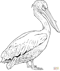 Click The Realistic Pelican Coloring Pages